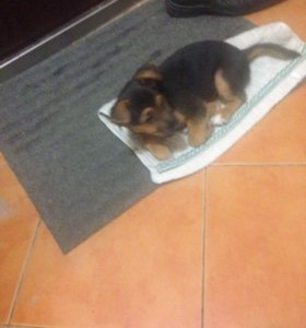 Продаю метиса щенка Немецкой овчарки