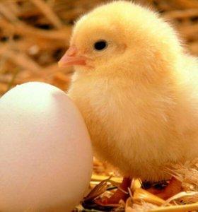 Инкубатор на 1200 куриных яиц Торг!