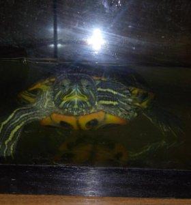 Черепаха (красноухая) + аквариум