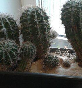 Продаю кактусы