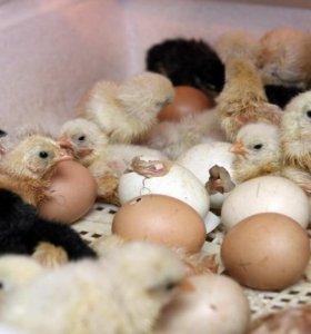 Цыплята от кур несушек