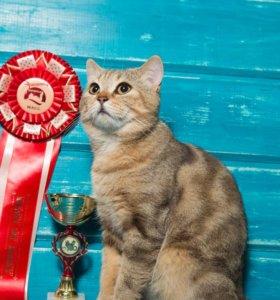 Вязка с шотландским котиком