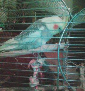 Попугаи нимфа