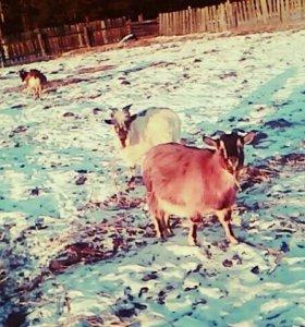 Продаются козы и козлы