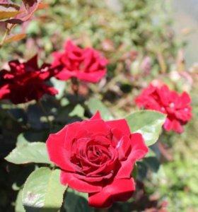 Саженцы, хвойные, розы, виноград, декоративные