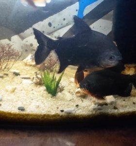 Аквариумные рыбы пираньи 2 шт.