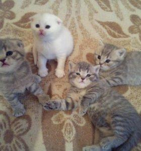 Продам шотландских и британских котят