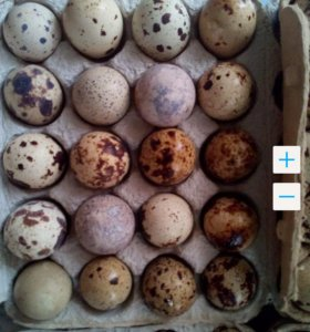 Продам яйцо перепелки и курицы