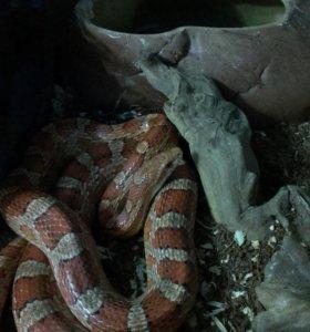 Маисовый полоз(змея)