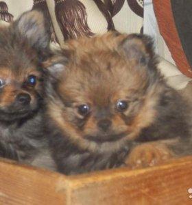 Продам замечательных щенков шпица
