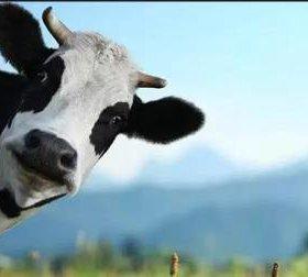 Продам корову нетель