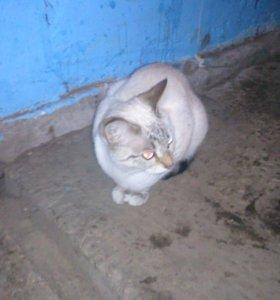 Тайская кашка( Котенок)