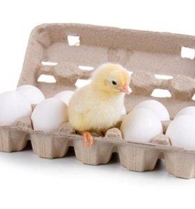 Яйцо куринное домашнее