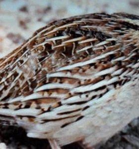 Перепела разл.пород, яйца инк/пищ, клетки, брудеры