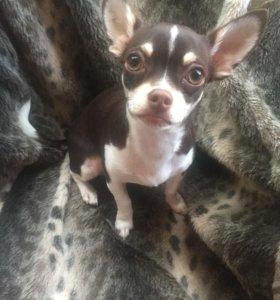 Собака Чихуахуа на вязку