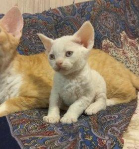Котята редкой породы Девон Рекс