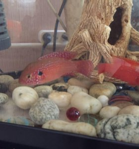 Рыбки хромис цихлиды