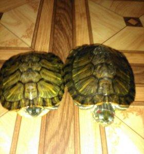 Красноухии черепахи.