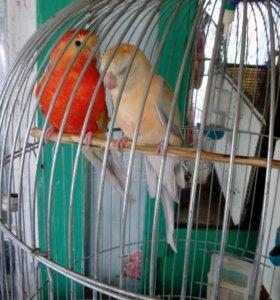 Певчие австралийские попугаи