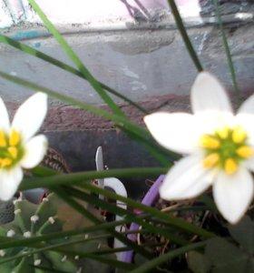 Цветок ифейон