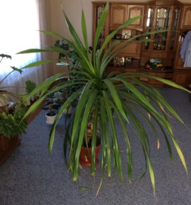 Растение  Панданус