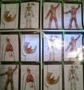 Плакат для изучения анатомии