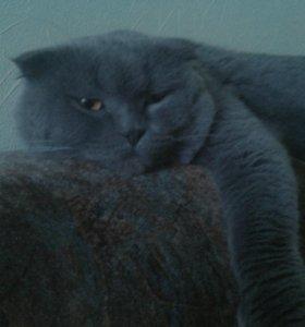 Породистый кот для вязки