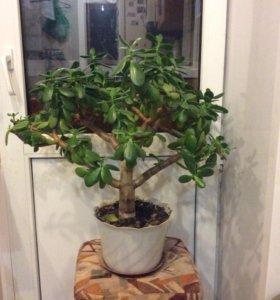 Толстянка или дерево счастья