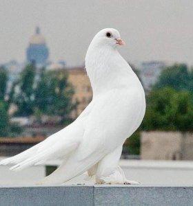 Белые Голуби на праздники
