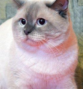 Вязка. Чистокровный британский кот