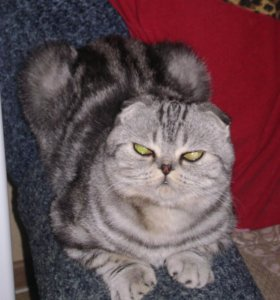 Вислоухий котик ждет кошечку