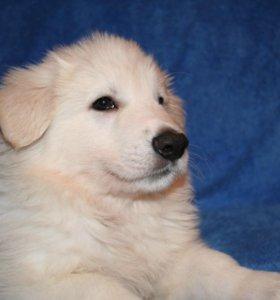 Продаются щенки Белой Швейцарской Овчарки (БШО)