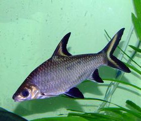 Акулий балу)барбусы)