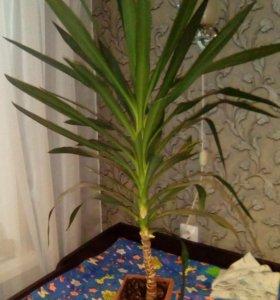 Пальма юкка.