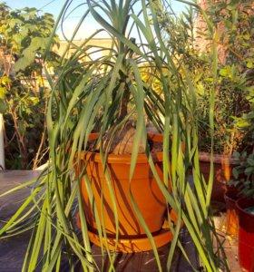 Большая нолина (Бокарнея) /Бутылочное дерево