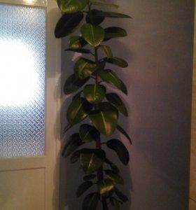 Растения-Фикус