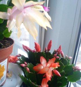 Цветы декабристы