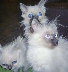 Сиамские котята.