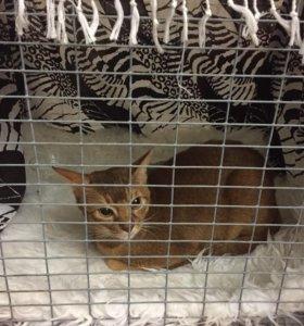 Вязка абиссинского кота. Родословный есть документ