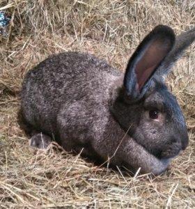 Мясо кролика. Раменское мясо кролика
