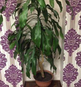 Растение пальма Юкка