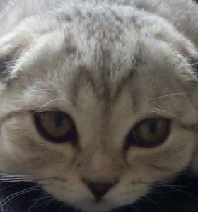 Вязка кота шотландский вислоухий