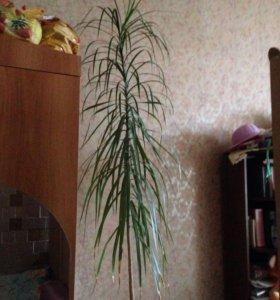 Продам пальму для офиса