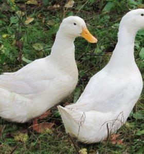 Китайские утки живым весом