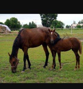 Лошади английской и ахалтекинской породы