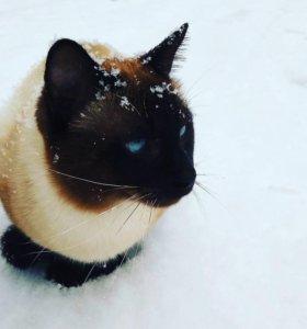 Приглашаем на вязку. Тайский котик