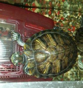 Черепахи красноухие с аквариумом и фильтром