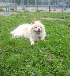 Пух от собаки Чау-чау