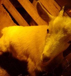 Козочки козы