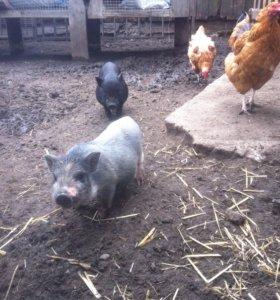 Свинки и кабанчики, въетнамская вислобрюхая